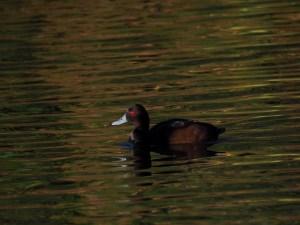 Rotaugen-Ente