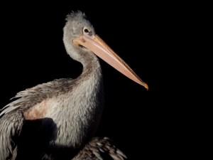 junger Pelikan in der Sonne