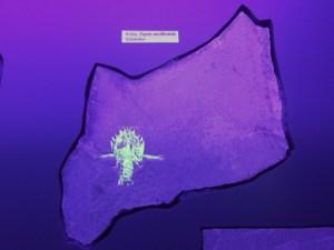 fluoreszierender Eryon im UV-Licht