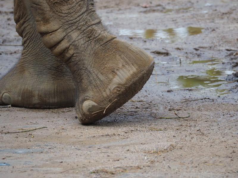 Elefantenfüße