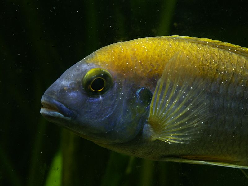 Buntbarsch mit Ichthyophthirius-Befall. Foto: CC by Thomas Kaczmarczyk