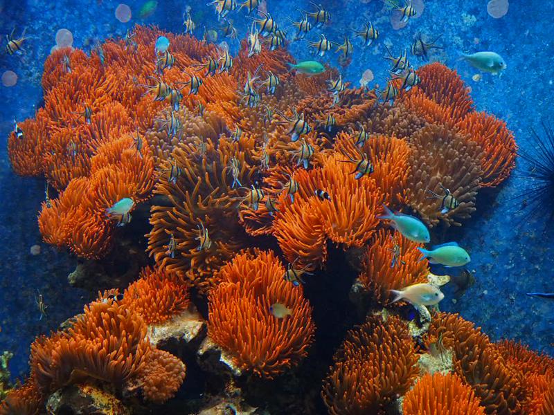 Kupferanemonen und Korallenfische