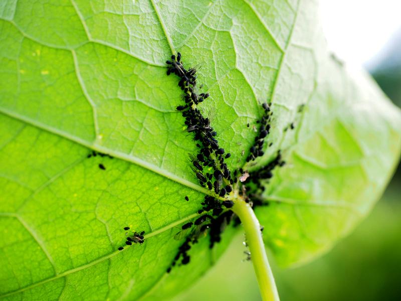 schwarze Läuse auf der Unterseite eines Blattes