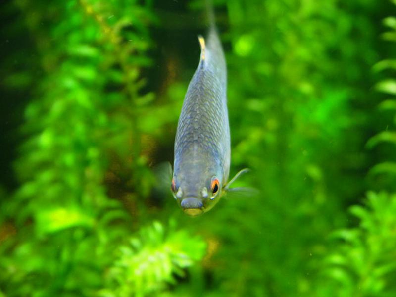 Rhodeus amarus