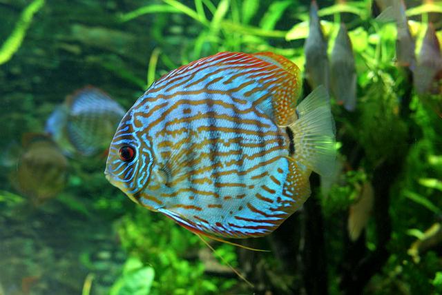 S. aequifaciatus aus dem Aquarium in Budapest