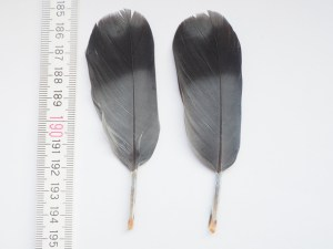 zwei Federn, mit Kiel etwa 10 cm lang