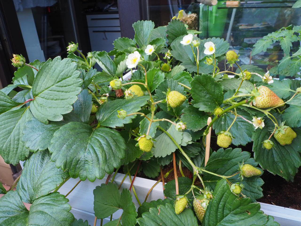 Das Hochbeet auf dem Balkon trägt auch Erdbeeren