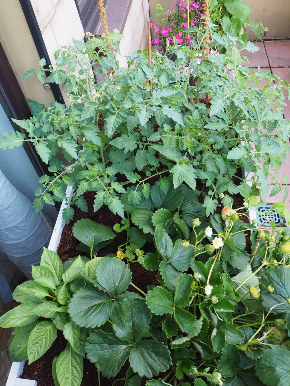 Nutzpflanzen im Balkon-Hochbeet