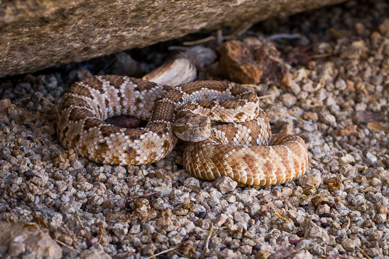 Rattlesnake under Bubba Gump Boulder