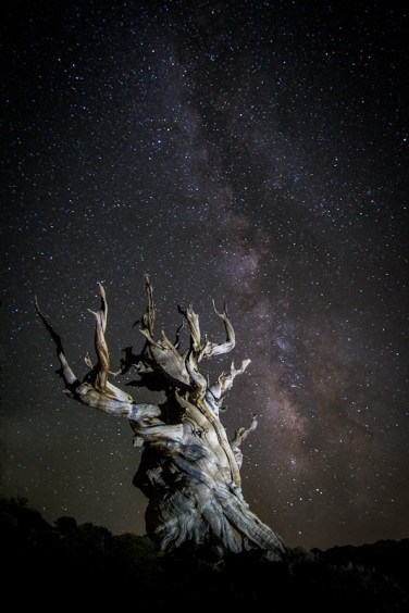 Bristlecone Pine Forrest