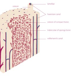 endosteum and periosteum 1 4 5 the periosteum is a double layered membrane surrounds the external surface of the bone except for the joints surfaces 1 2 [ 1304 x 984 Pixel ]
