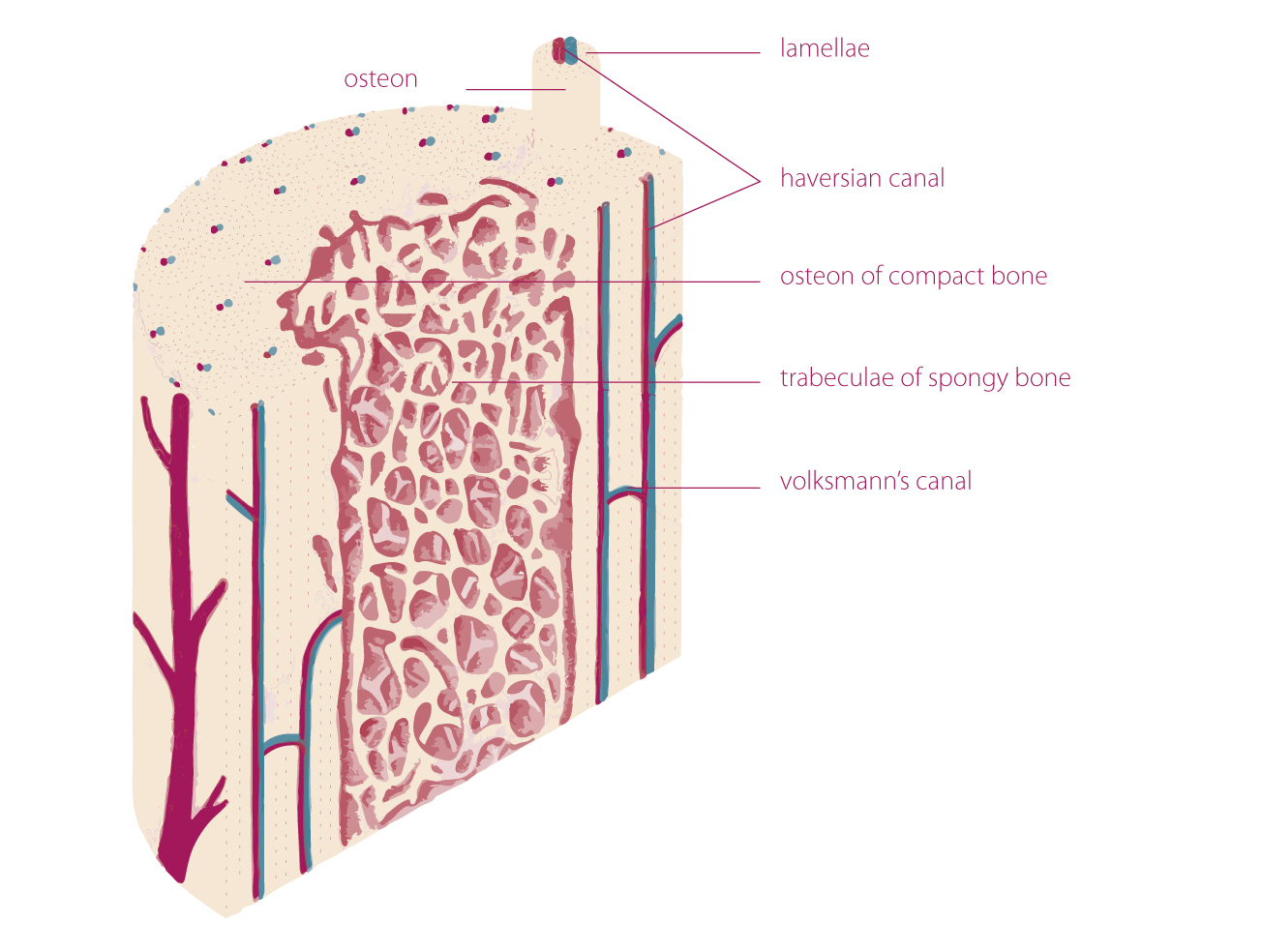 hight resolution of  endosteum and periosteum 1 4 5 the periosteum is a double layered membrane surrounds the external surface of the bone except for the joints surfaces 1 2