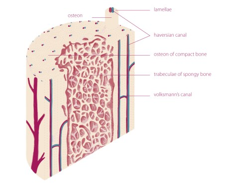 small resolution of  endosteum and periosteum 1 4 5 the periosteum is a double layered membrane surrounds the external surface of the bone except for the joints surfaces 1 2