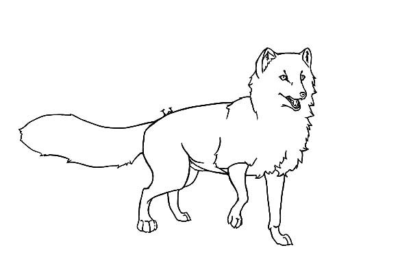 Arctic Fox Diagram Sketch Coloring Page