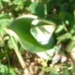 TTD tulipano cresce