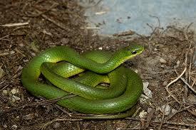 TTD serpente6