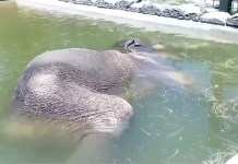 Video of elephant relaxing in swimming pool is becoming viral