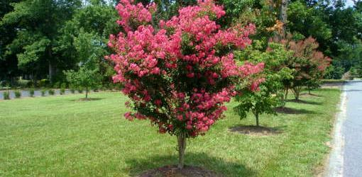 How to Plant Balled and Burlapped Trees and Shrubs  Todays Homeowner