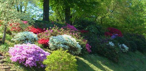 How to Grow Azaleas  Todays Homeowner