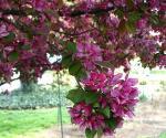 Flowers on crabapple tree