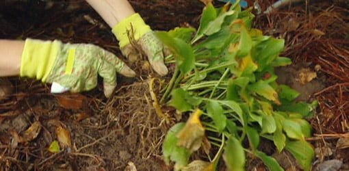 How To Divide Hosta Plants In Your Garden Today S Homeowner