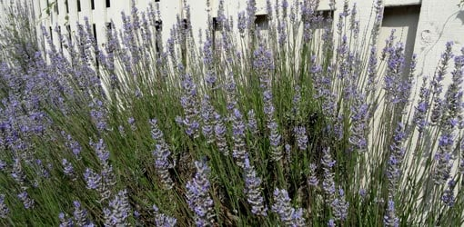 How To Grow Lavender In Your Yard Or Garden Todays