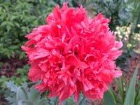 Red Oriental poppy flower.