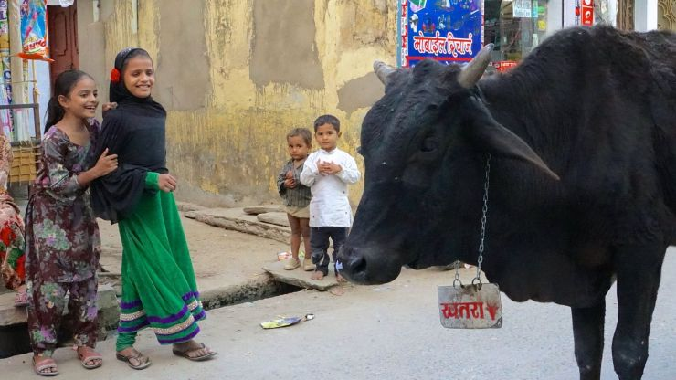 people watching cow in street