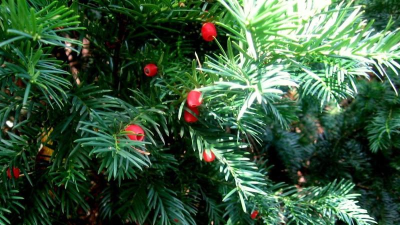 yew-tree