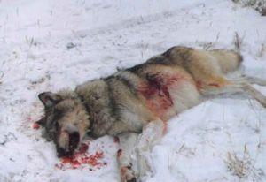 grey-wolf-shot