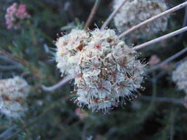 FlatTop Buckwheat