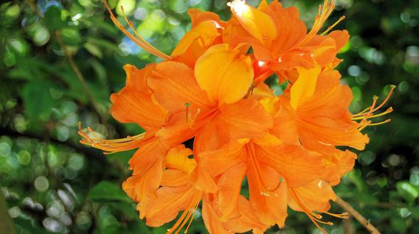 Azalea with orange blooms in Marietta Georgia