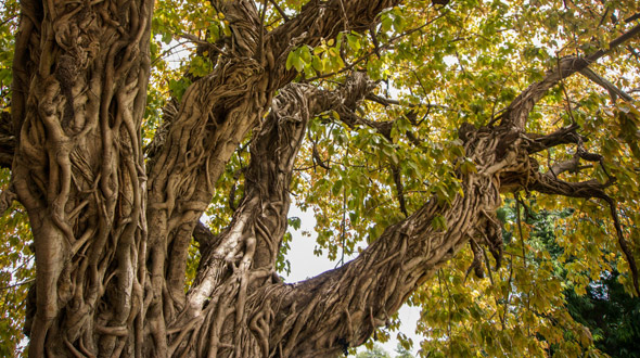 Dying tree strangled by vines