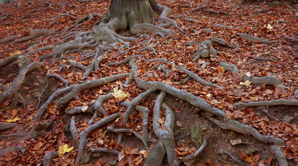 Invasive tree roots growing on ground surface