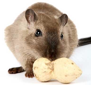 Ratón y cacahuete