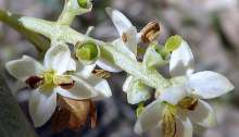 Flores de olivo