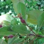 hoja manzano silvestre japones