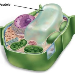 Animal Cell Diagram No Labels Wiring House To Shed Vacúolos