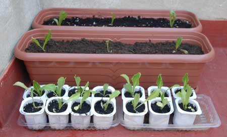 Plantones de lechugas