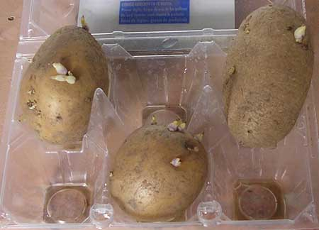 Preparando patatas para sembrar en macetas