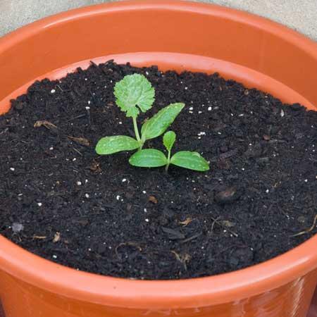Calabacines recien trasplantados a los 10 dias de la siembra