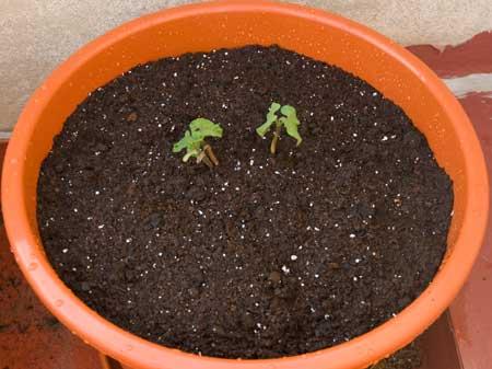 Judías de mata baja recién trasplantadas a los 7 días de la siembra