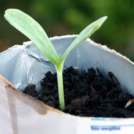 Melón piel de sapo a los 10 dias de la siembra