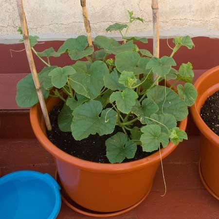 Melones a los 38 días de la siembra