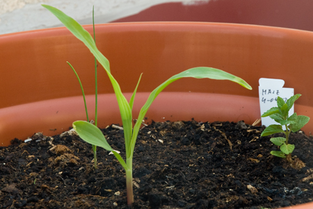 Maíz a los 24 días de la siembra