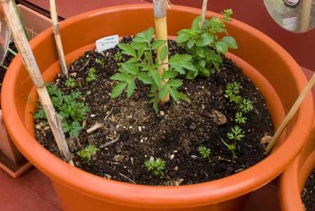 Zanahorias, perejil y albahaca alrededor de una tomatera