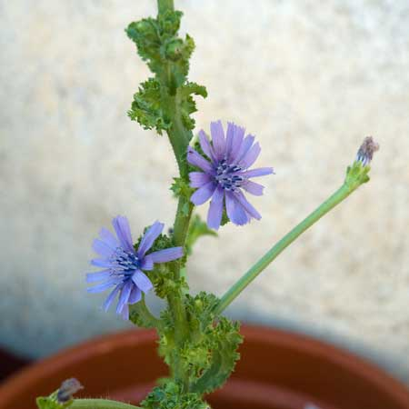 Flores de la escarola