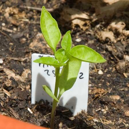 Pimiento a los 56 días de la siembra