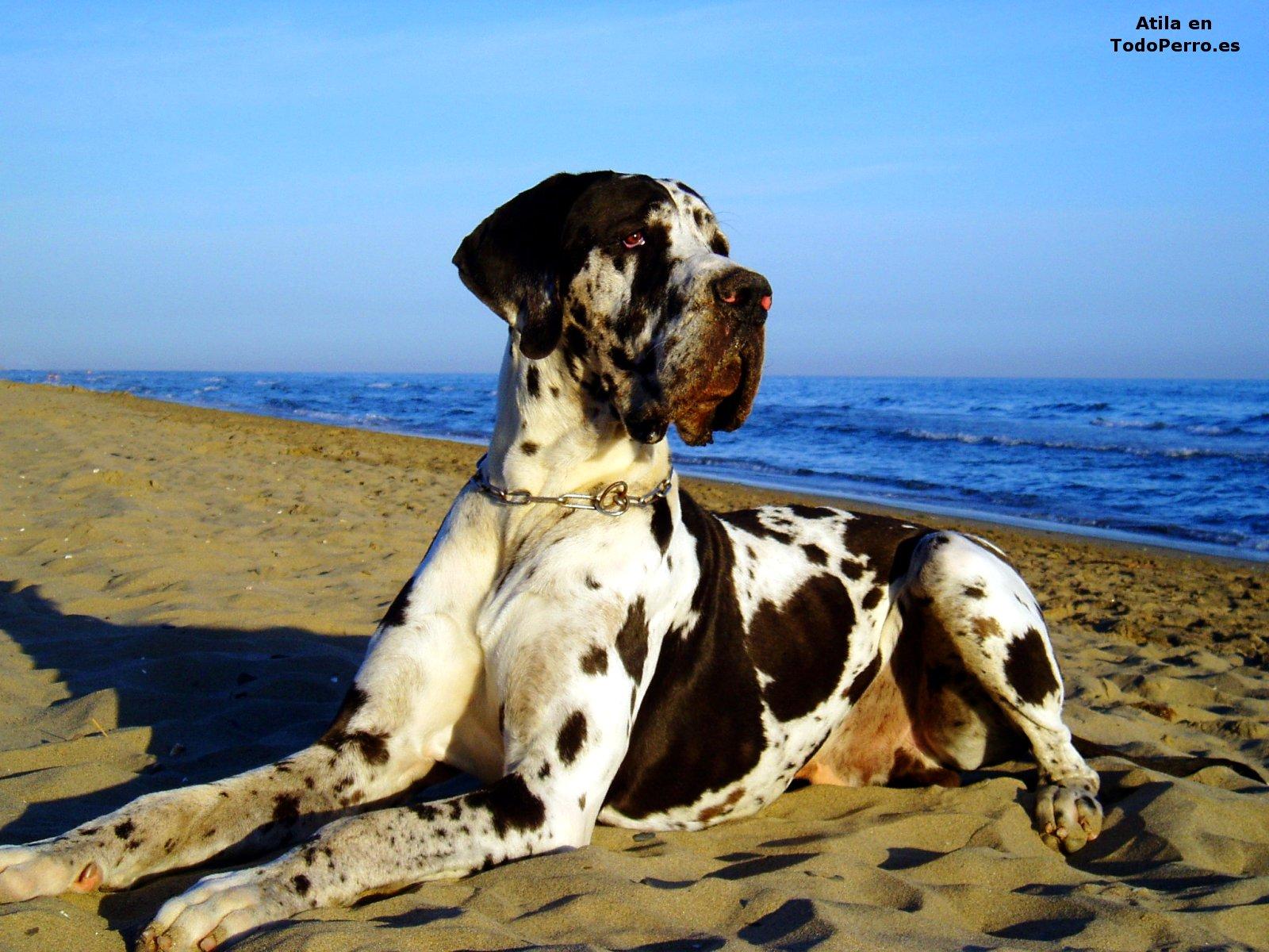 Perros Fondo De Pantalla De Atila 1600x1200