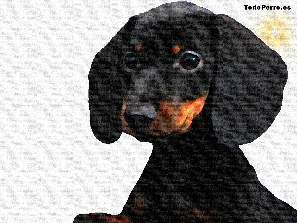 Cuadro de un cachorro de Teckel